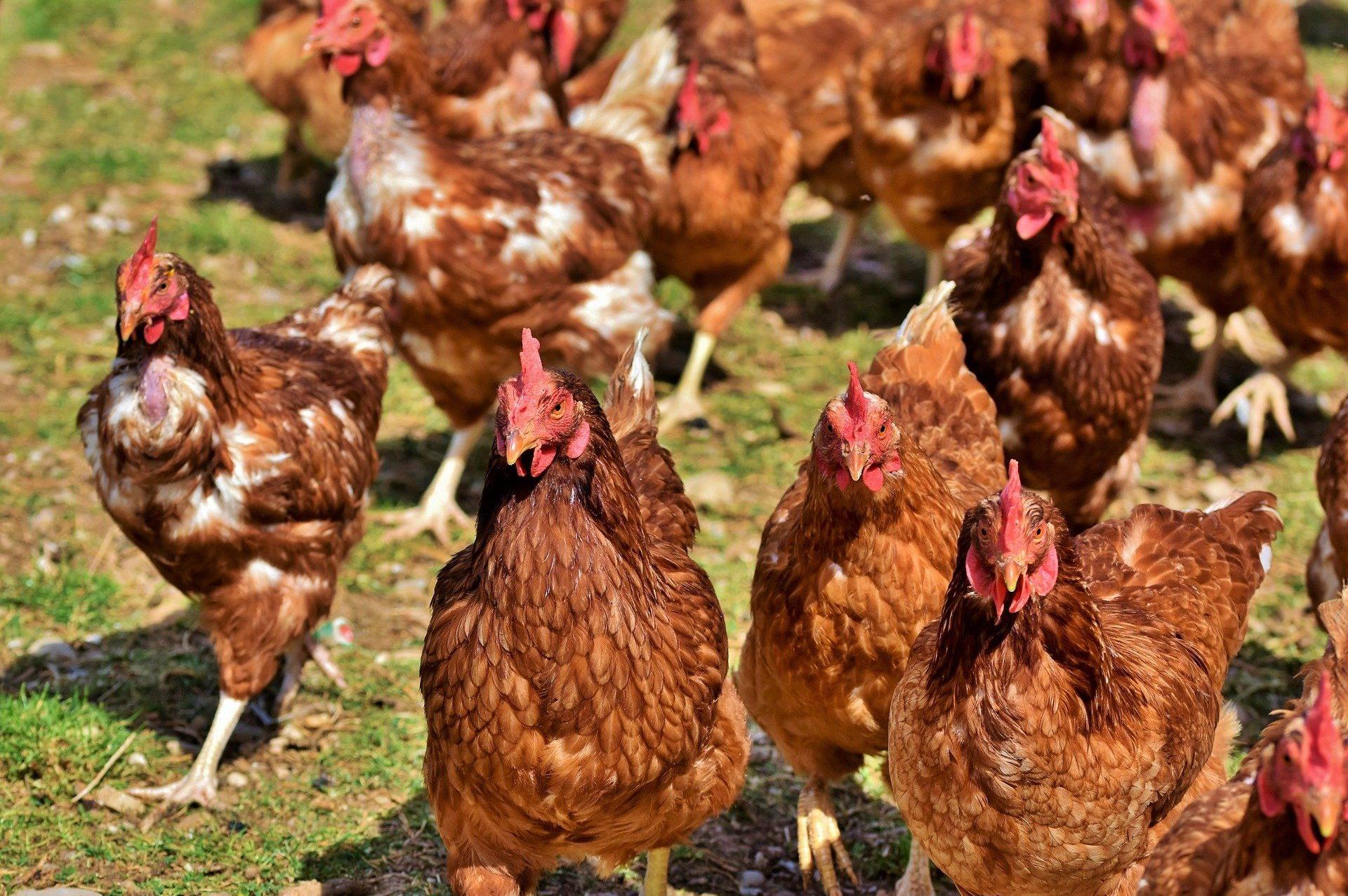 chicken-4155959_1920